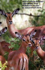Антилоп-импала называют фаст-фудом из-за М-образного рисунка на определенном месте...